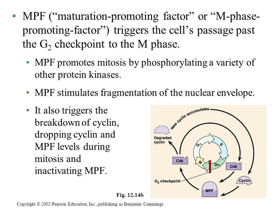 MPF ( maturation-promoting factor or M-phase- promoting-factor ) triggers the cell's passage past the G2 checkpoint to the M phase.