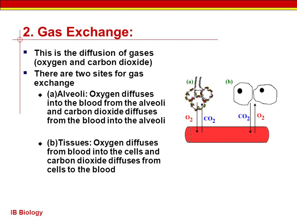 2. Gas Exchange: This is the diffusion of gases (oxygen and carbon dioxide) There are two sites for gas exchange.