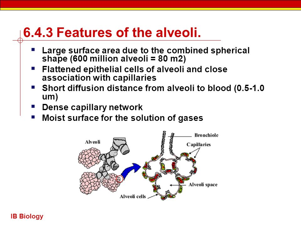 6.4.3 Features of the alveoli.