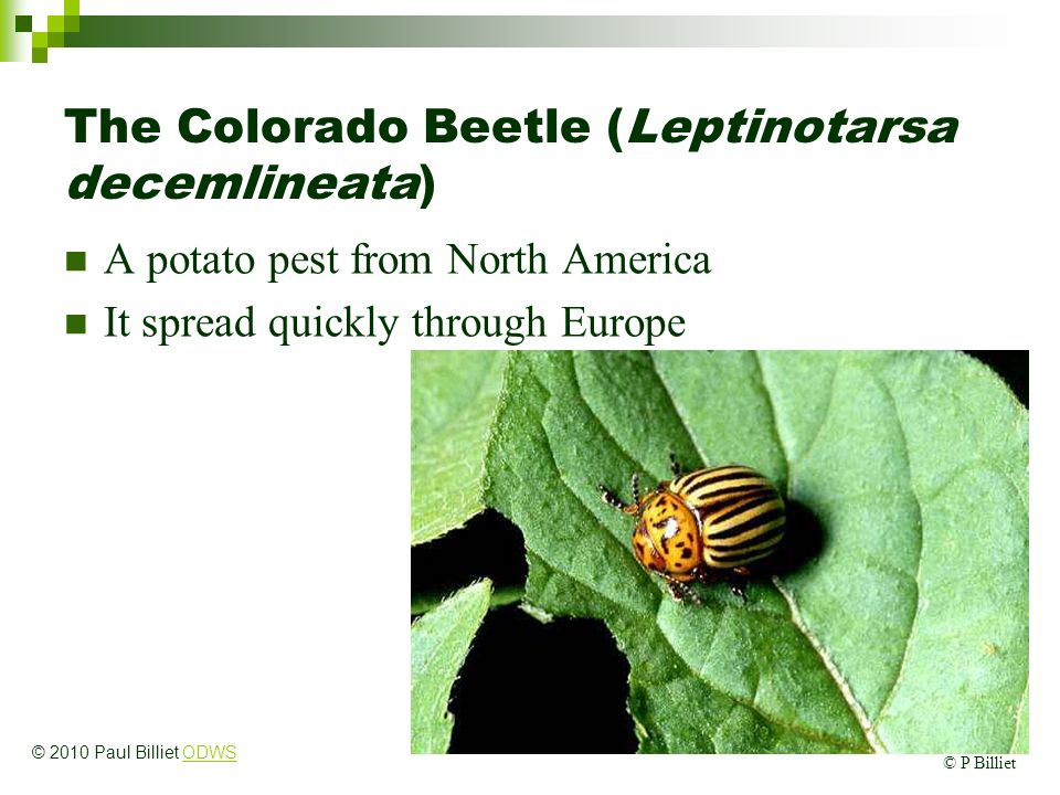 The Colorado Beetle (Leptinotarsa decemlineata)