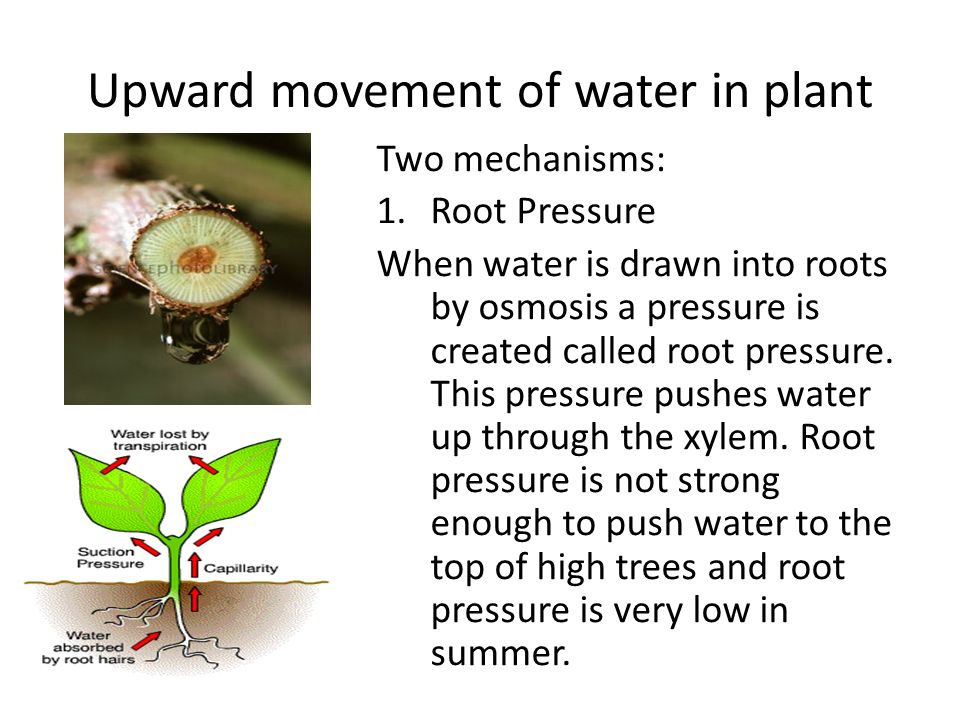 Upward movement of water in plant