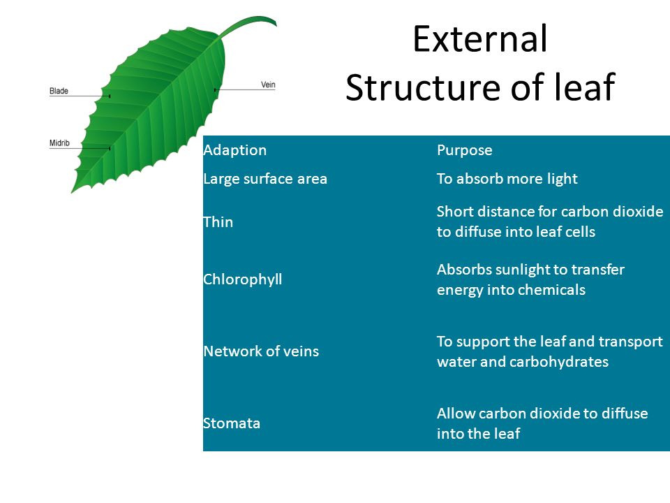 External Structure of leaf