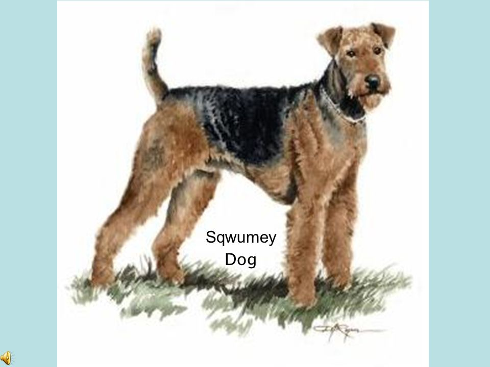 Sqwumey Dog