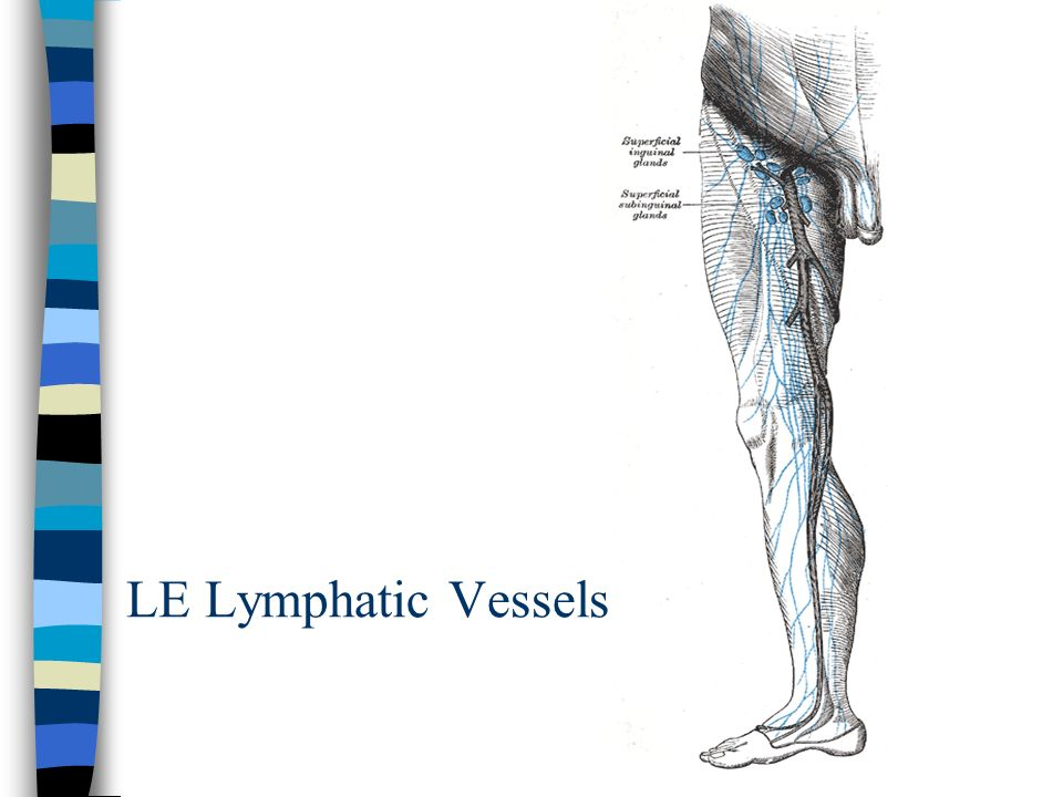 LE Lymphatic Vessels