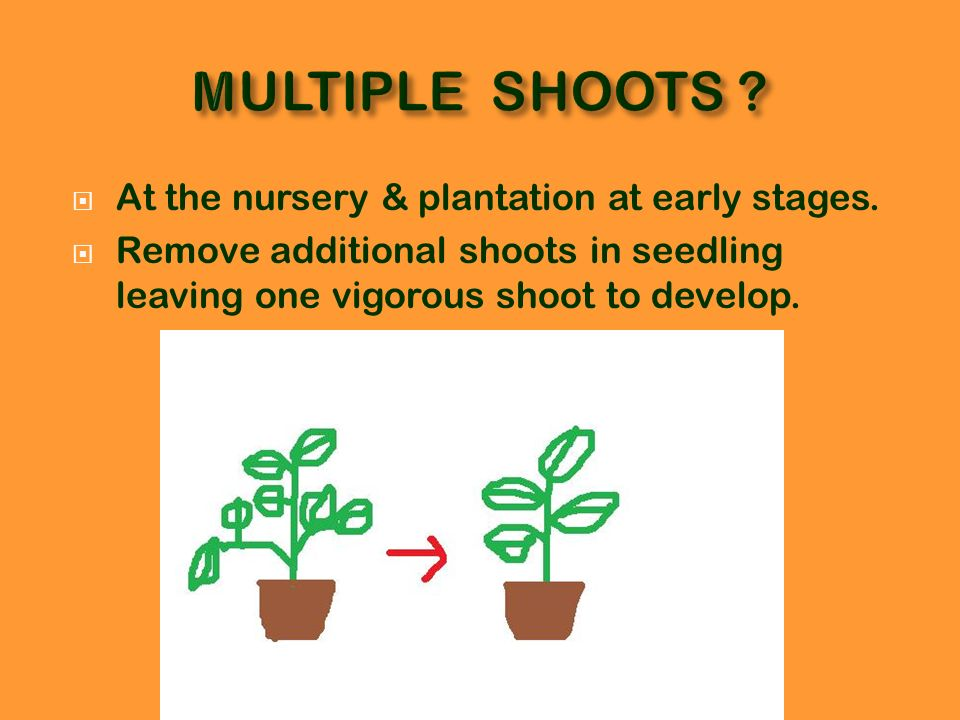 MULTIPLE SHOOTS At the nursery & plantation at early stages.