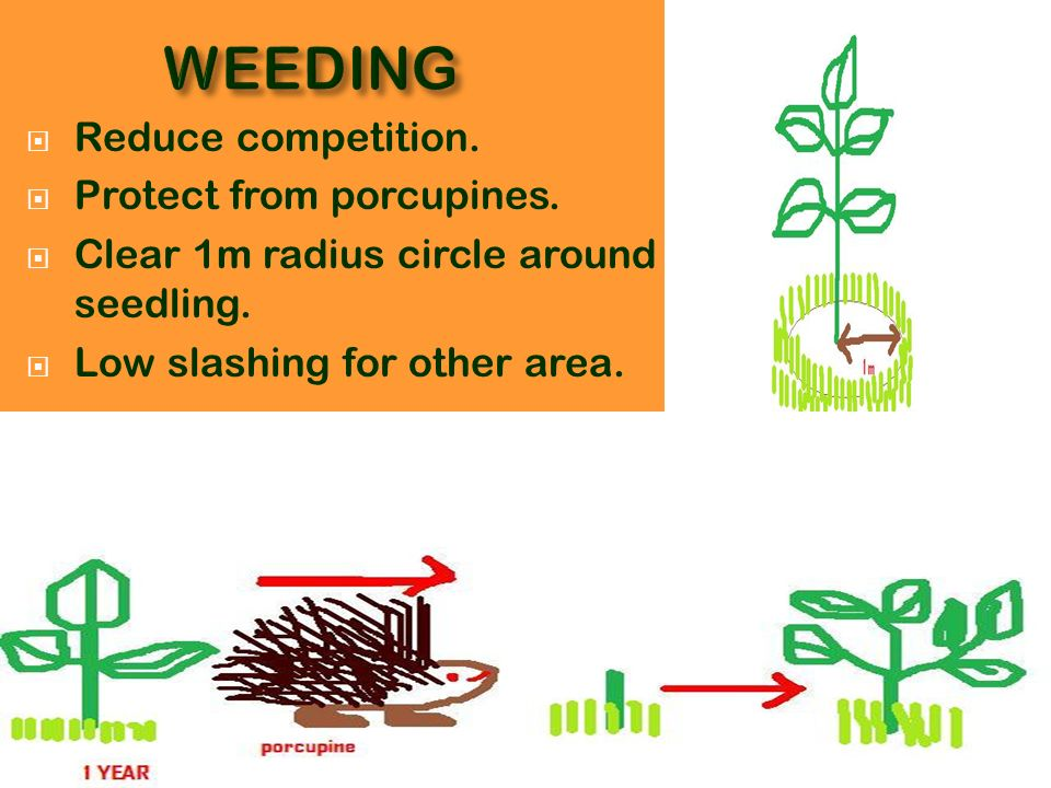 WEEDING Reduce competition. Protect from porcupines.