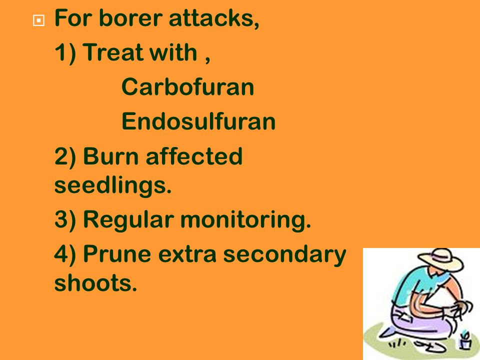 For borer attacks, 1) Treat with , Carbofuran. Endosulfuran. 2) Burn affected seedlings. 3) Regular monitoring.