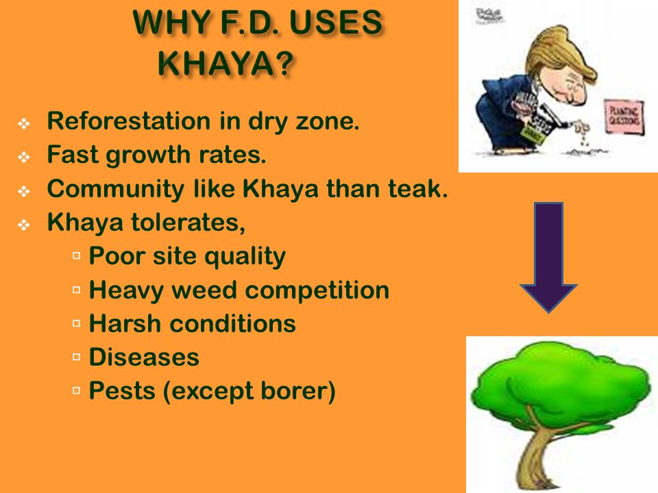 WHY F.D. USES KHAYA Reforestation in dry zone. Fast growth rates.