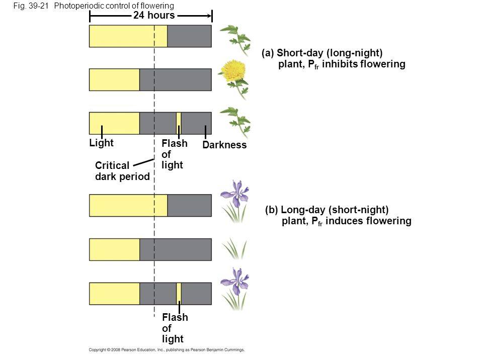 (a) Short-day (long-night) plant, Pfr inhibits flowering