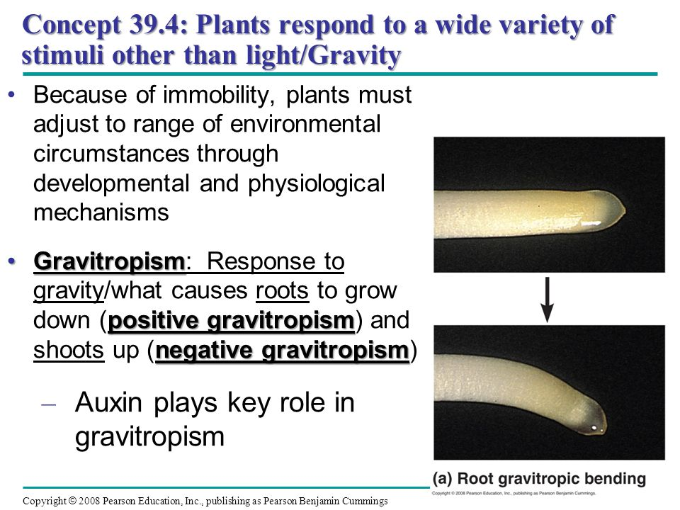 Auxin plays key role in gravitropism