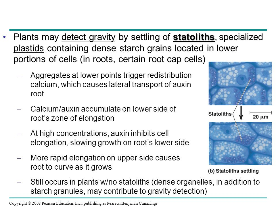 Plants may detect gravity by settling of statoliths, specialized plastids containing dense starch grains located in lower portions of cells (in roots, certain root cap cells)