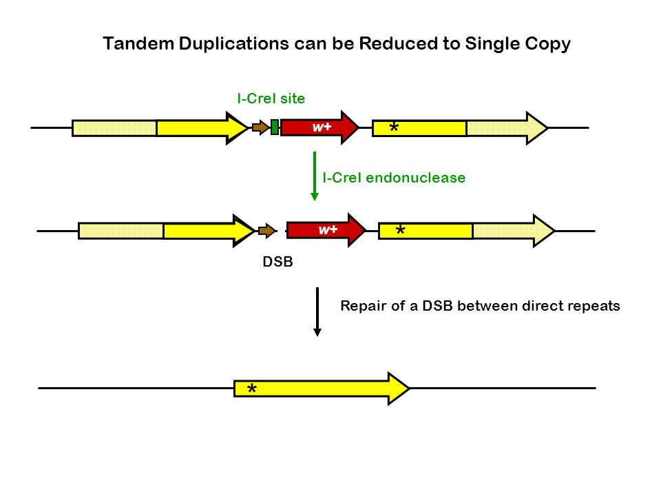 * * * Tandem Duplications can be Reduced to Single Copy I-CreI site w+