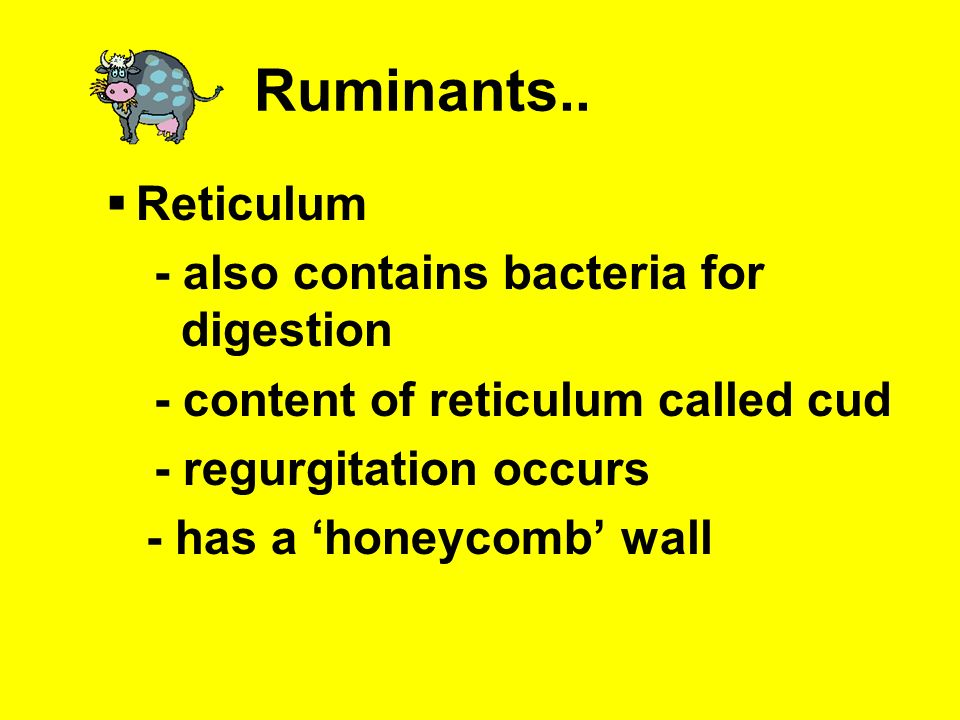 Ruminants.. Reticulum - also contains bacteria for digestion
