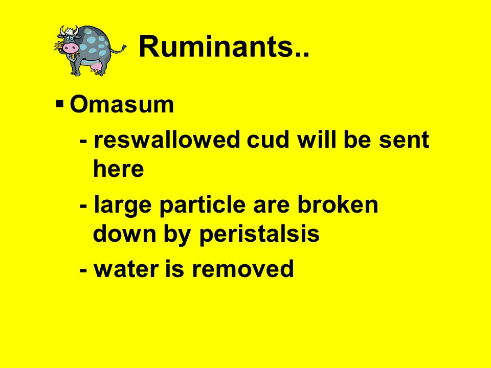 Ruminants.. Omasum - reswallowed cud will be sent here