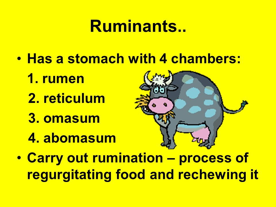 Ruminants.. Has a stomach with 4 chambers: 1. rumen 2. reticulum