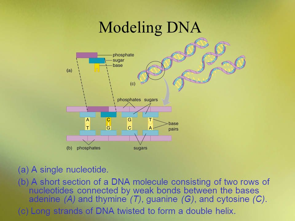 Modeling DNA (a) A single nucleotide.
