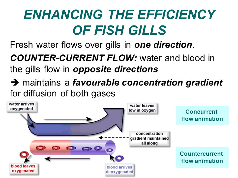 ENHANCING THE EFFICIENCY OF FISH GILLS