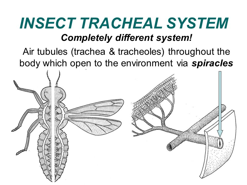 INSECT TRACHEAL SYSTEM
