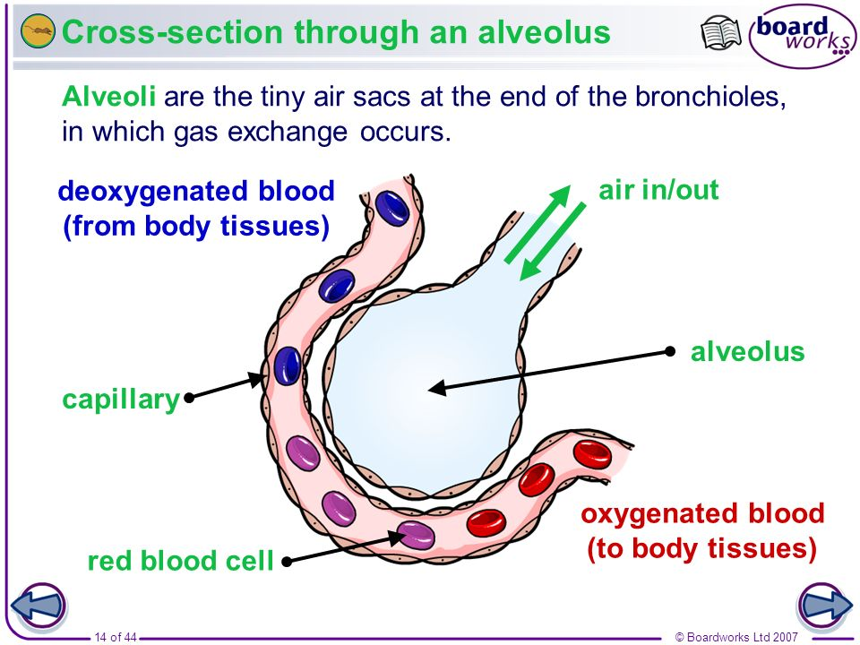 Cross-section through an alveolus