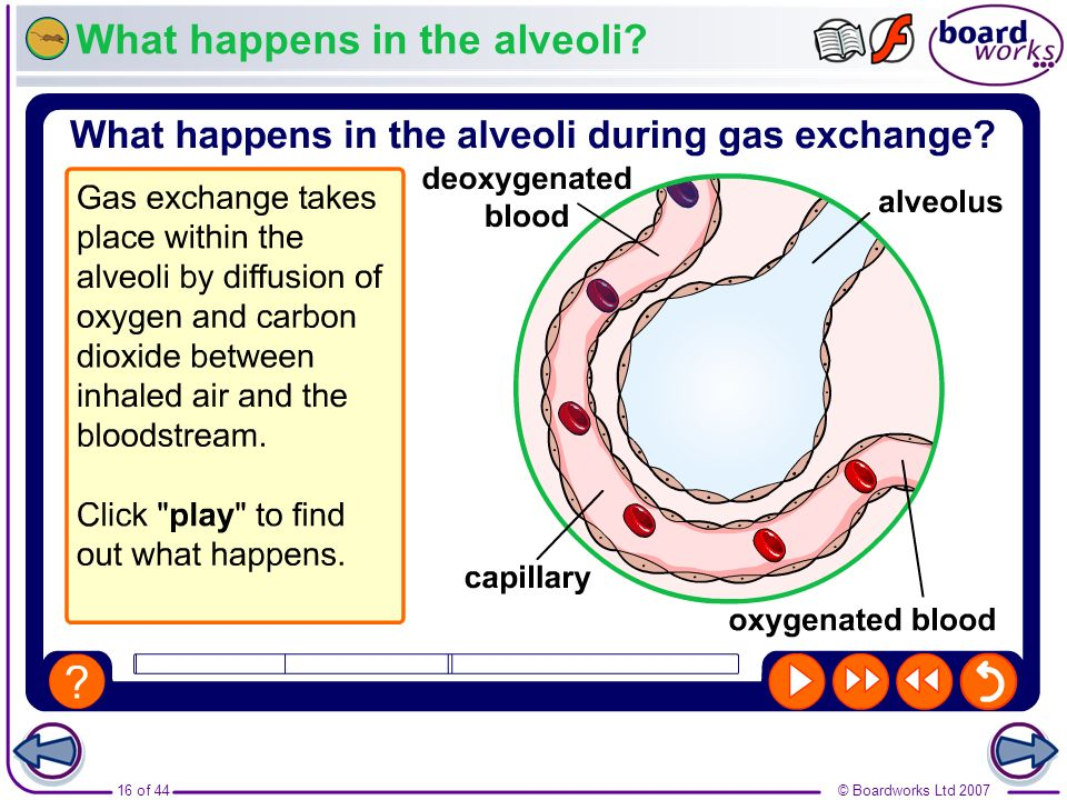 What happens in the alveoli