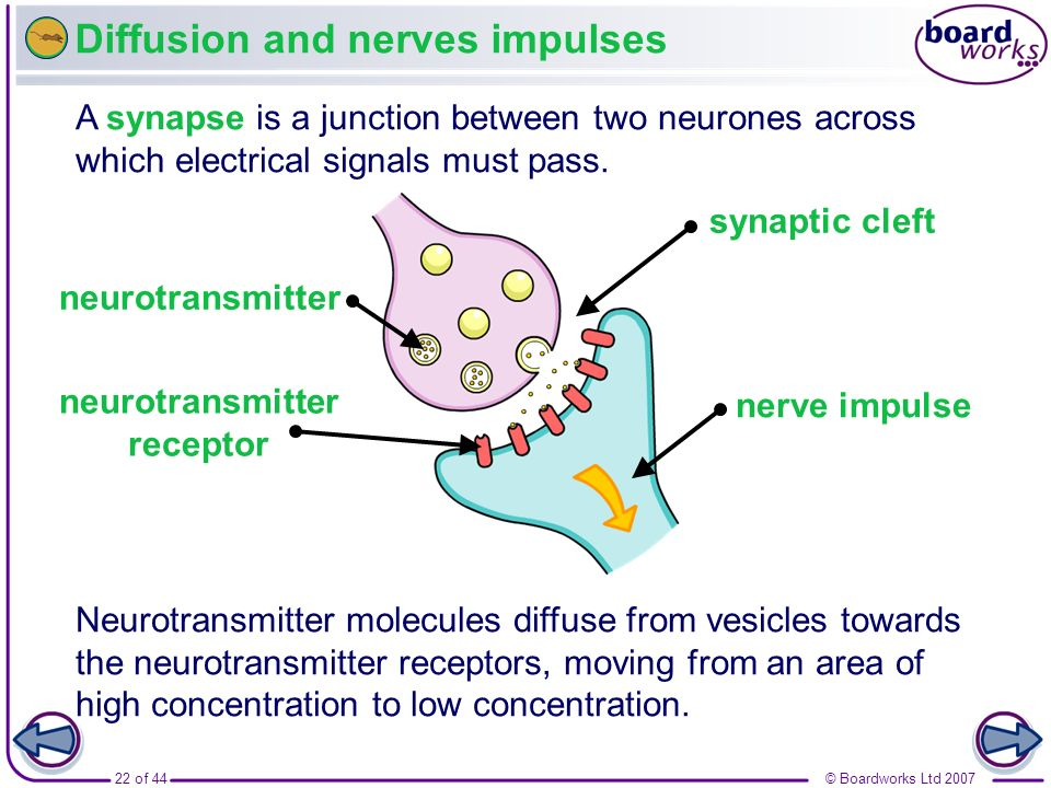 Diffusion and nerves impulses