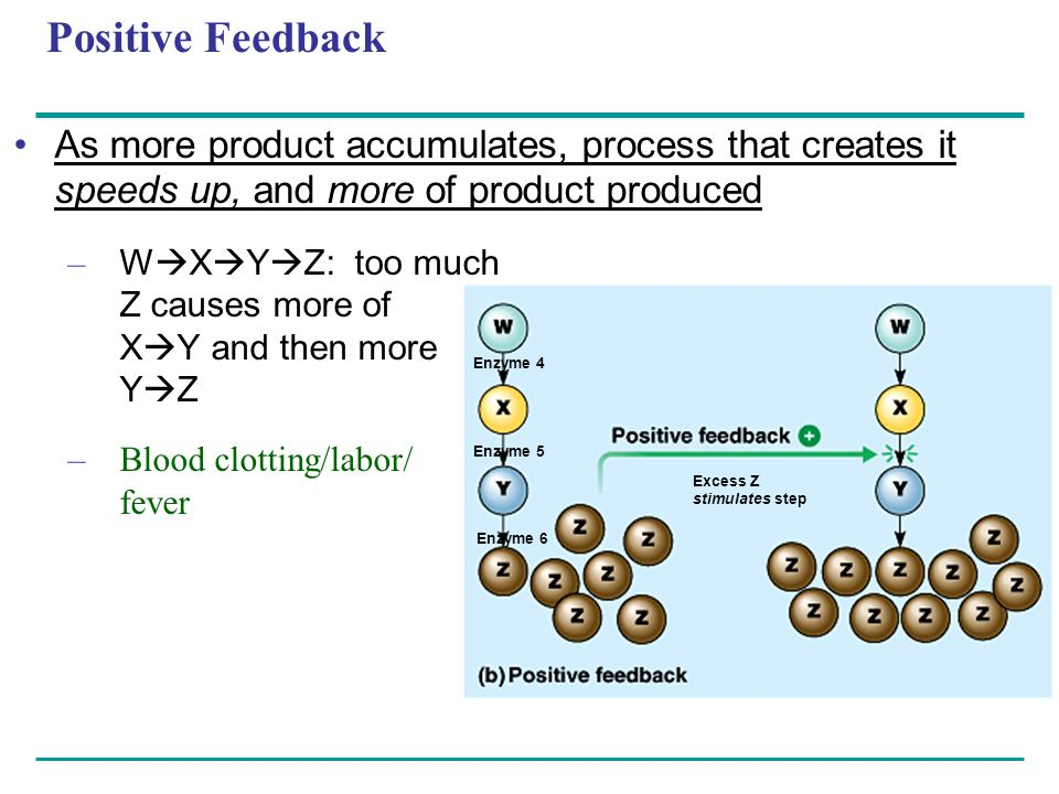 Positive Feedback As more product accumulates, process that creates it speeds up, and more of product produced.