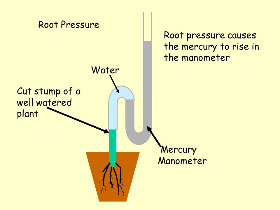 Root Pressure Root pressure causes the mercury to rise in the manometer. Water. Cut stump of a well watered plant.