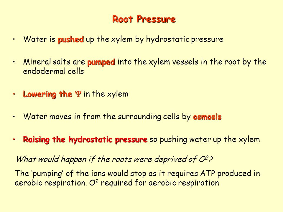 Root Pressure Water is pushed up the xylem by hydrostatic pressure