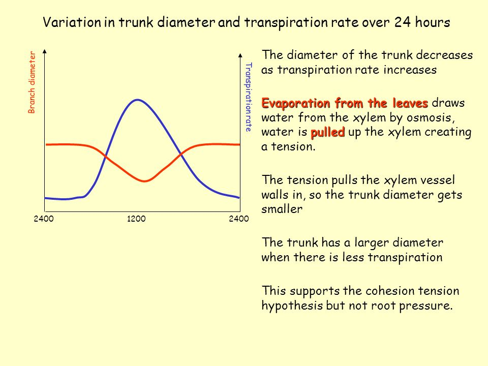 Variation in trunk diameter and transpiration rate over 24 hours