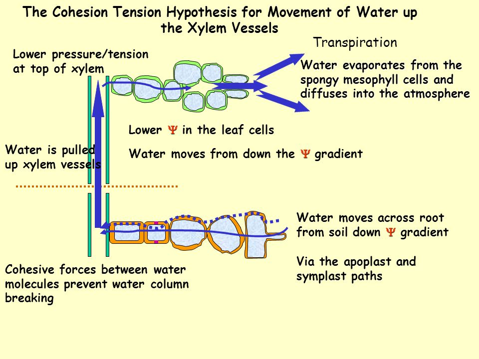 The Cohesion Tension Hypothesis for Movement of Water up the Xylem Vessels