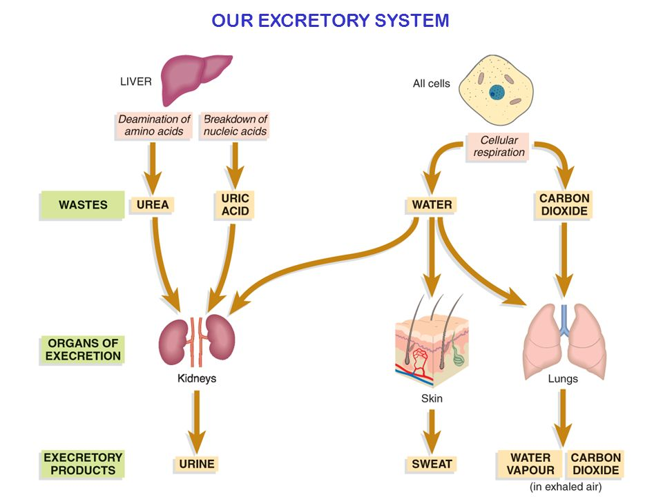The Excretory System In The Human Ppt Video Online Download