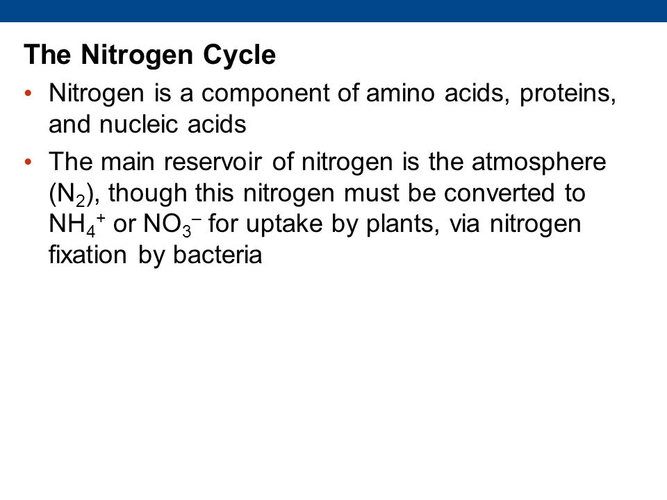 The Nitrogen Cycle Nitrogen is a component of amino acids, proteins, and nucleic acids.
