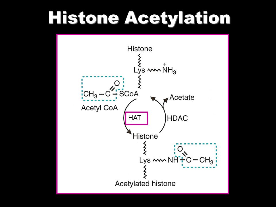 Histone Acetylation HAT