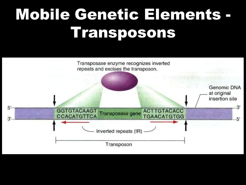 Mobile Genetic Elements - Transposons