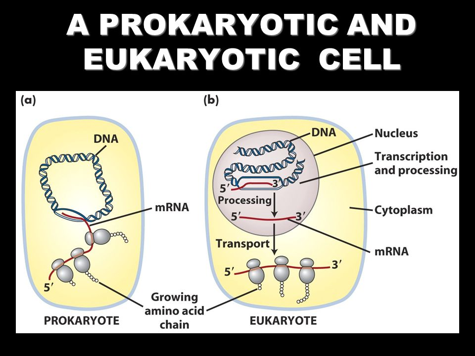 A PROKARYOTIC AND EUKARYOTIC CELL