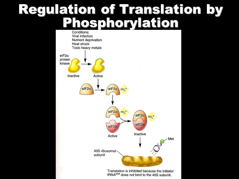 Regulation of Translation by Phosphorylation