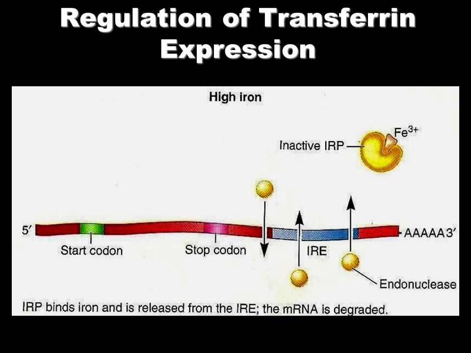 Regulation of Transferrin Expression