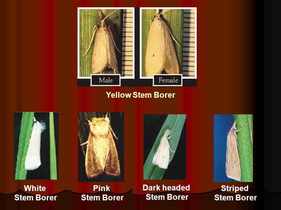 Yellow Stem Borer White Stem Borer Pink Stem Borer Dark headed Stem Borer Striped Stem Borer