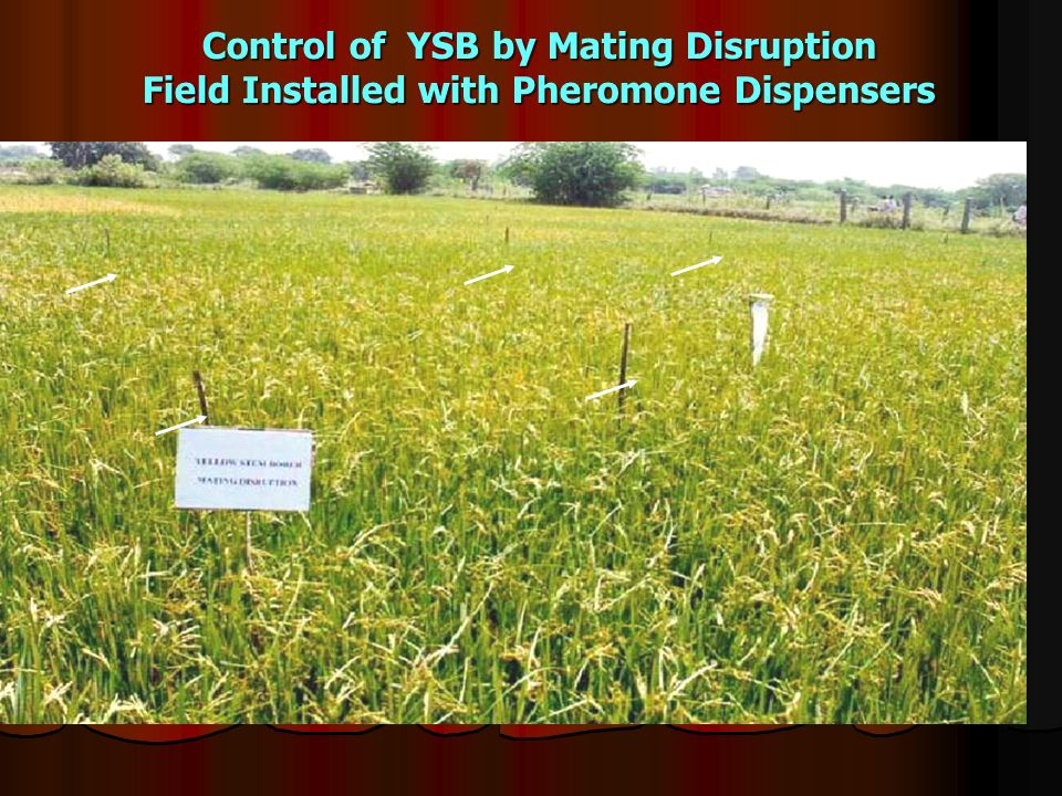 Control of YSB by Mating Disruption Field Installed with Pheromone Dispensers
