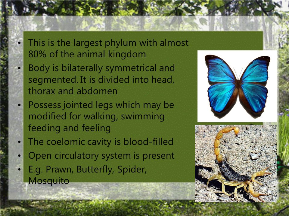 This is the largest phylum with almost 80% of the animal kingdom