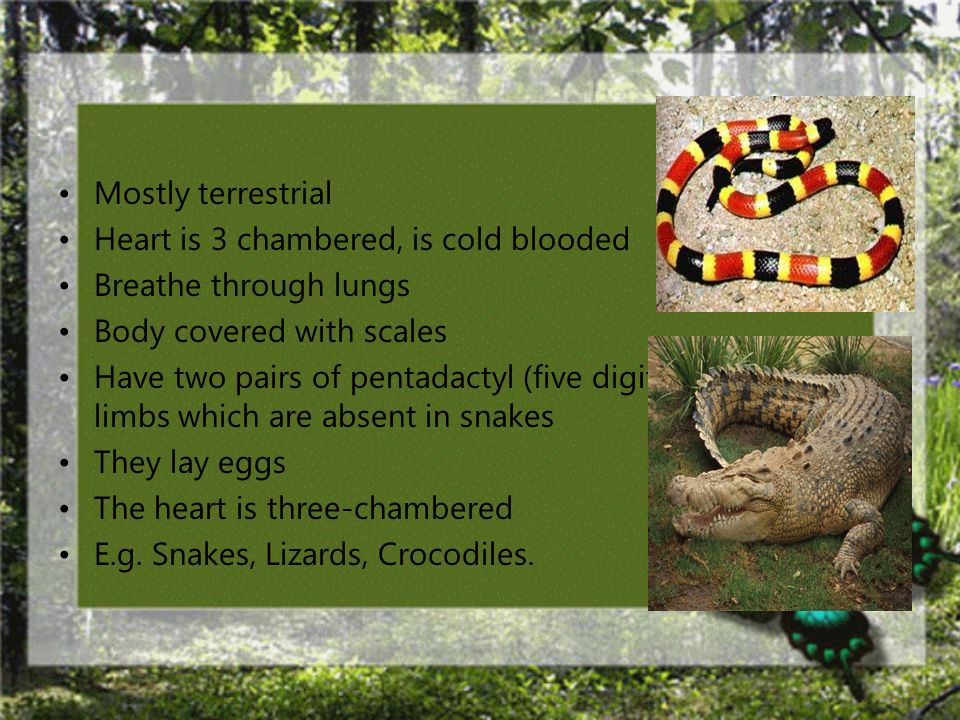 Mostly terrestrial Heart is 3 chambered, is cold blooded. Breathe through lungs. Body covered with scales.
