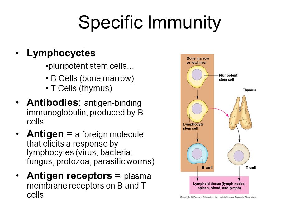 Specific Immunity Lymphocyctes •pluripotent stem cells... • B Cells (bone marrow) • T Cells (thymus)