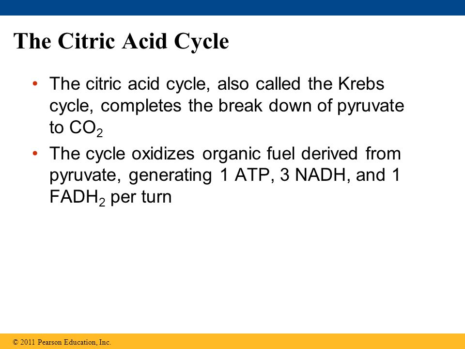 The Citric Acid Cycle The citric acid cycle, also called the Krebs cycle, completes the break down of pyruvate to CO2.
