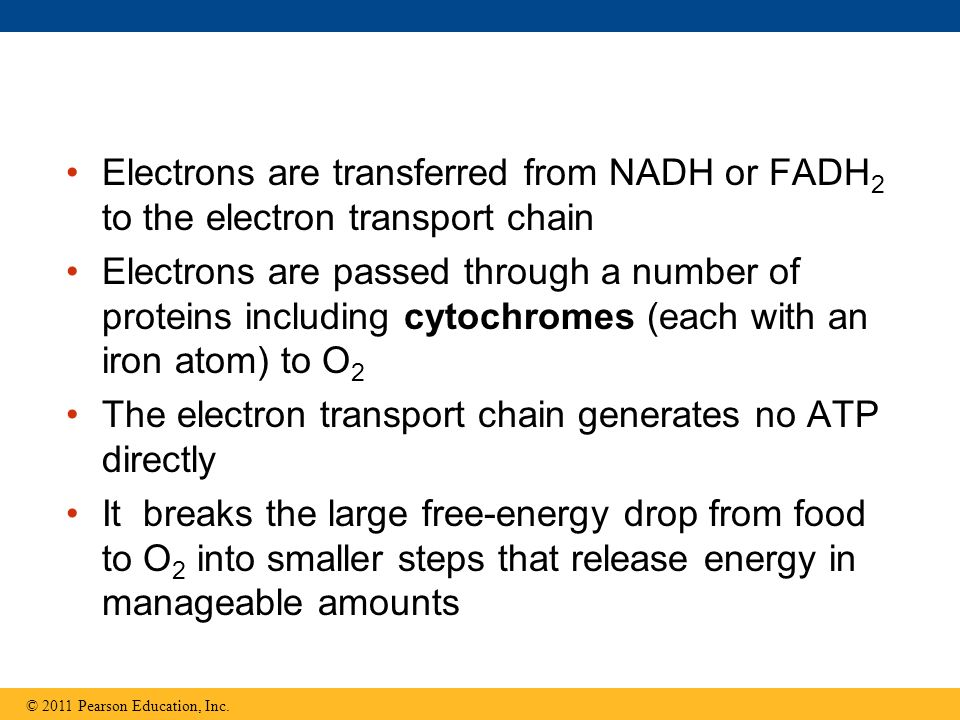 The electron transport chain generates no ATP directly