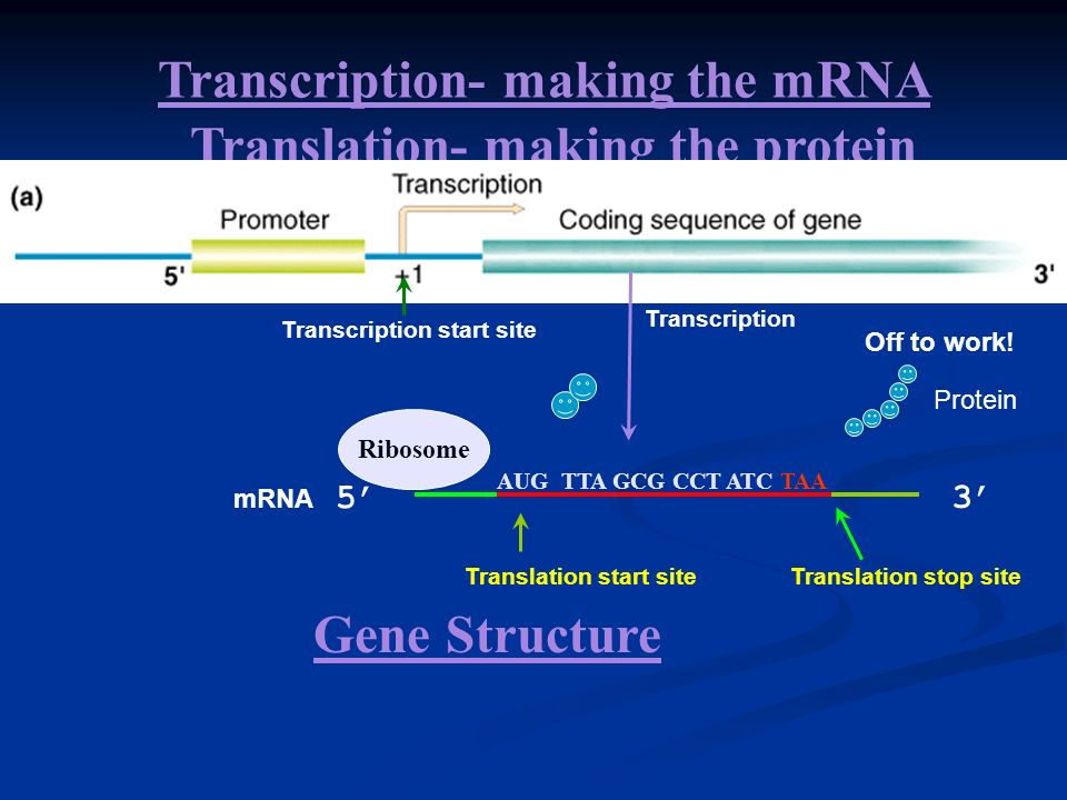 Transcription- making the mRNA Translation- making the protein