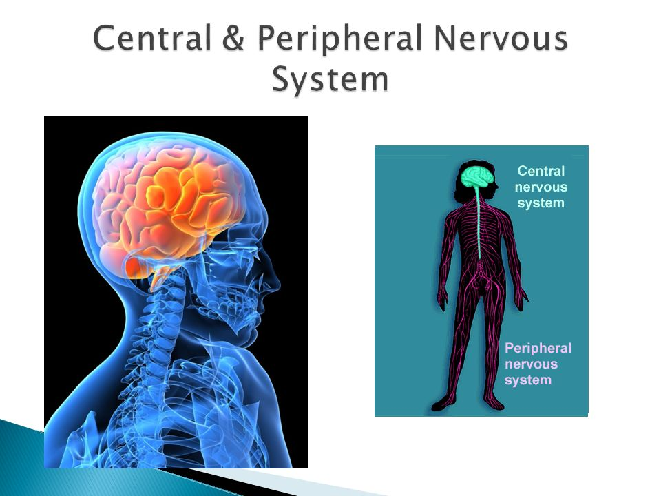 Central & Peripheral Nervous System