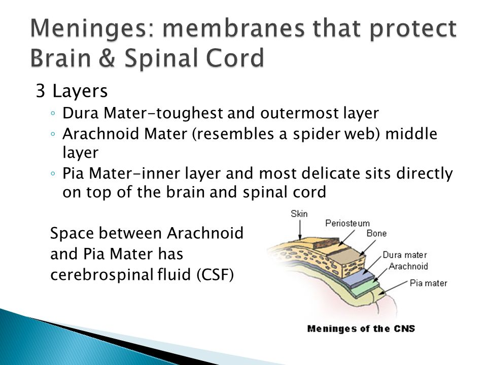 Meninges: membranes that protect Brain & Spinal Cord