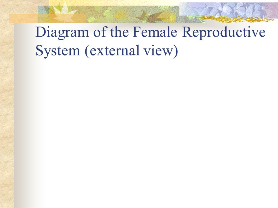 Diagram of the Female Reproductive System (external view)