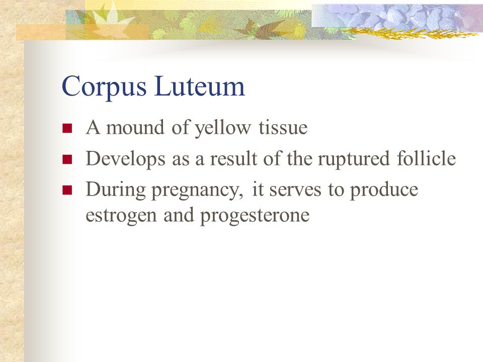 Corpus Luteum A mound of yellow tissue