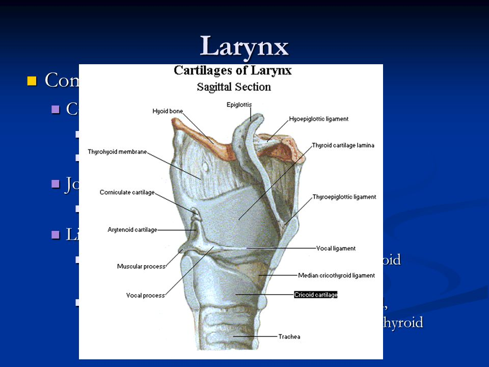 Larynx Components Cartilages Joints Ligaments and Membranes